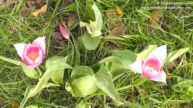Planting Tulips By ElizaBeth Coira